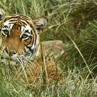 Playing peekaboo with the tigers of Ranthambore